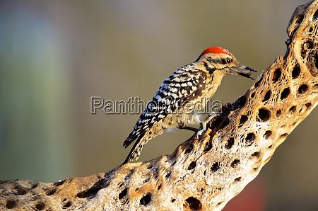 a male ladder backed woodpecker picoides