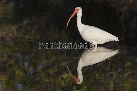 weisses ibis