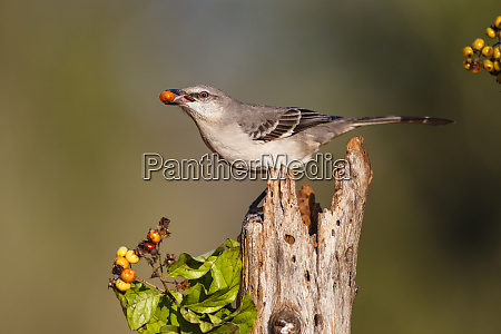 northern mockingbird mimus polyglottos feeding on
