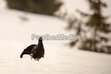 schwarzes huhn schwanz strutting um diedarstellung