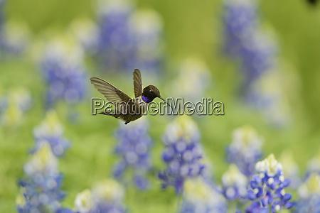 black chinned hummingbird archilochus alexandri adult
