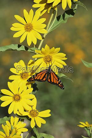 monarch danaus plexippus male feeding on