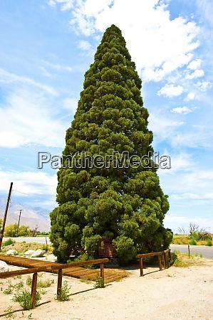 usa california giant sequoia honoring teddy