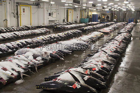usa hawaii oahu honolulu yellowfin tuna