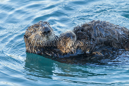 usa california morro bay sea otter
