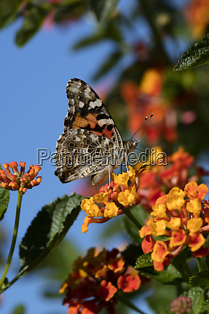 usa california painted lady butterfly on