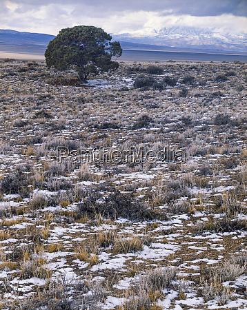 nevada usa lone utah juniper in