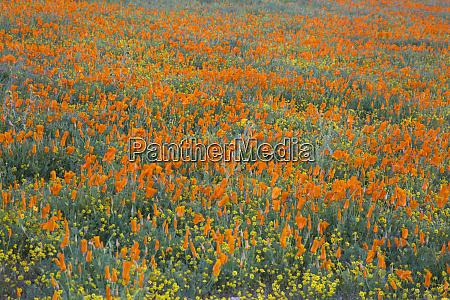 usa california mojave desert california poppy