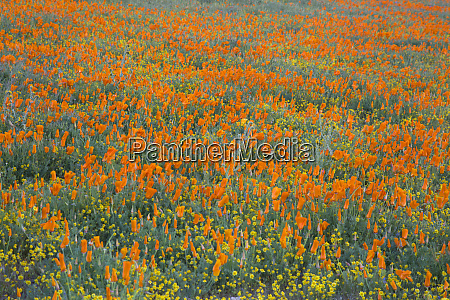 usa, kalifornien, mojave-wüste., kalifornien, mohnblühte, und, goldfelder, bedecken - 27836814