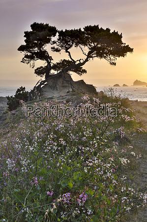 cypress tree at sunset along the