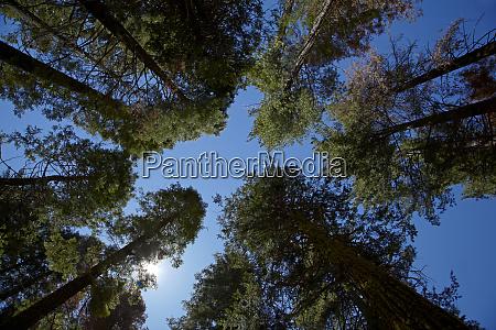 trees at tuolumne sequoia grove near