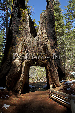 dead giant tunnel tree tuolumne grove