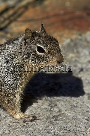 california ground squirrel otospermophilus beecheyi by