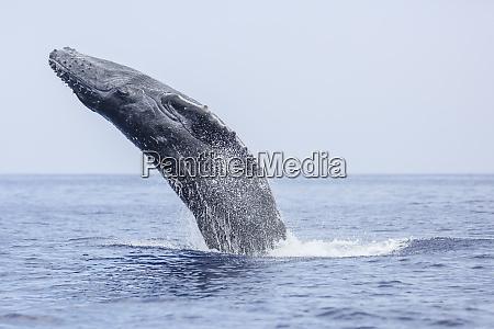 humpback whales megaptera novaeangliae on kohala