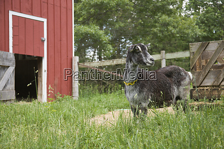 galena illinois usa goat standing between