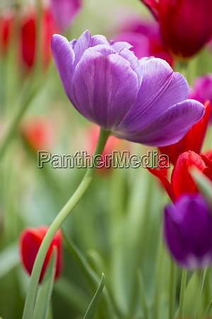 purple and red tulips cantigny park
