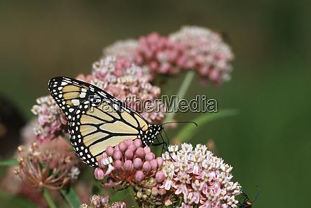monarch danaus plexippus on swamp milkweed