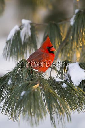 northern cardinal cardinalis cardinalis male in