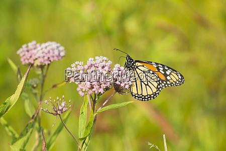 monarch butterfly danus plexippus on swamp
