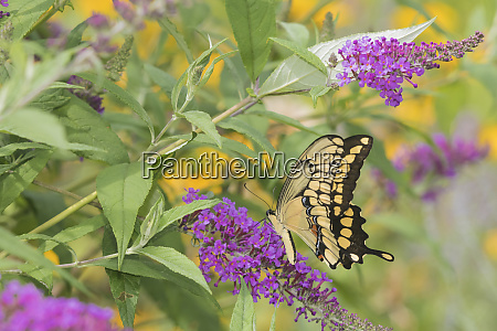 giant swallowtail papilio cresphontes on butterfly
