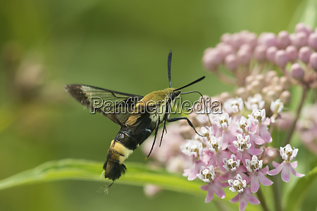 snowberry clearwing hemaris diffinis on swamp