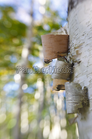 paper birch trees in maines acadia