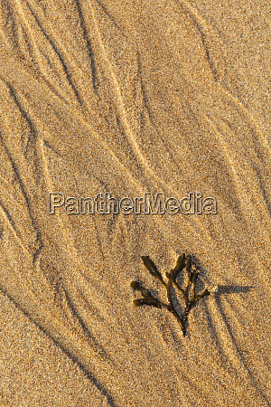 seaweed on sand beach in maines