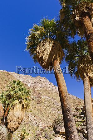 california fan palms in borrego palm