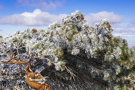 rime ice on pine tree san