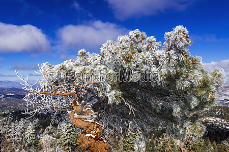 rime ice on pine tree san
