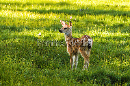 young mule deer spotted fawn tuolumne