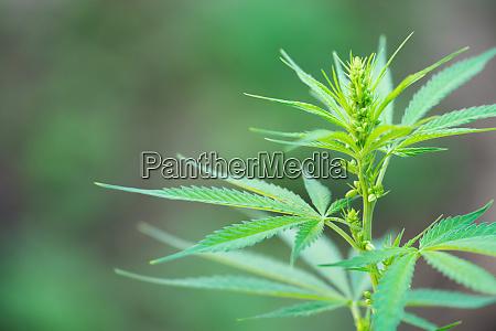 nahaufnahme maennlicher cannabispflanzenpollensaecke