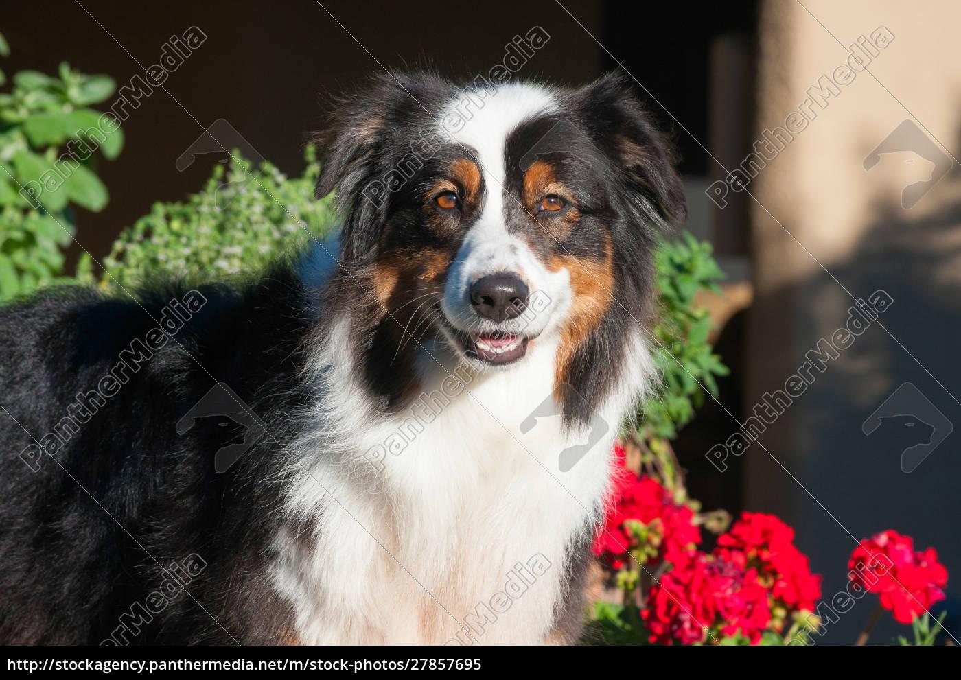 australian, shepherd, smiling, (mr, &, pr) - 27857695