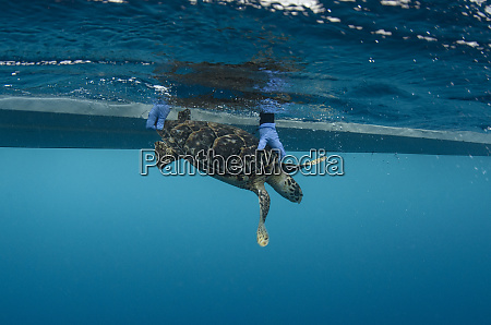hawksbill turtle eretmochelys imbricata release after