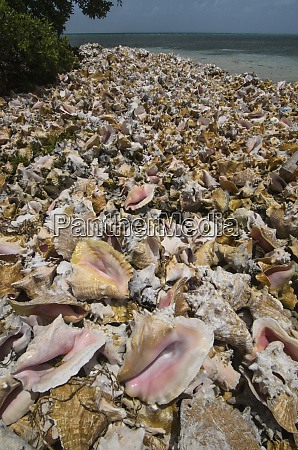 queen conch strombus gigas shells harvested