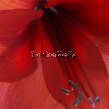 rot amaryllis abstrakt