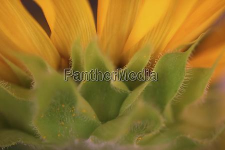 gelbe sonnenblume nahaufnahme