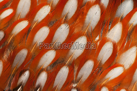 tragopan feather design and fan effect