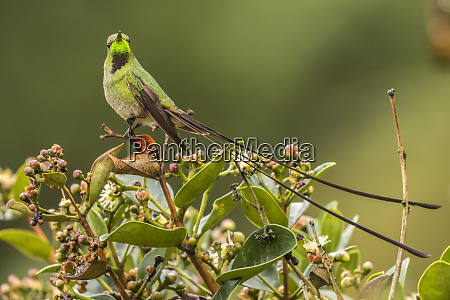ecuador nono black tailed trainbearer on