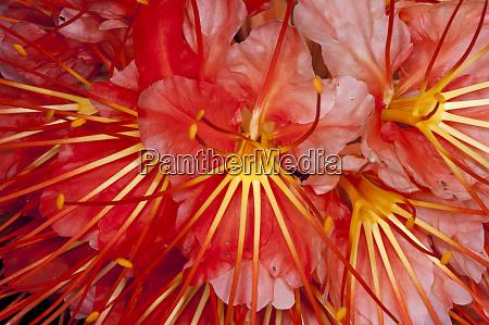 brownea flower brownea macrophylla yasuni national