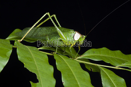 collared katydid euceraia yasuni national park