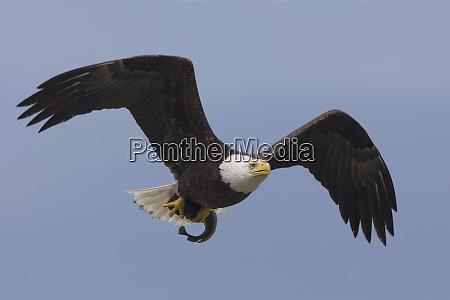 bald eagle rueckkehr zu barsch zu