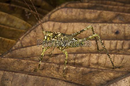 green spiny katydid tettigoniidae yasuni national