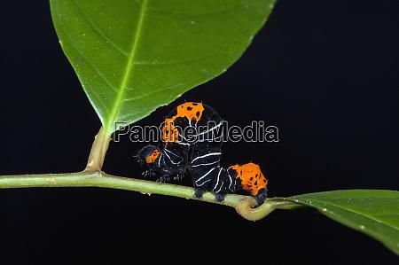 inchworm geometridae moth larvae yasuni national