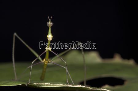 jumping stick insect apioscelis bulbosa female