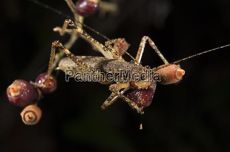 katydid tettigoniidae eating fruit yasuni national
