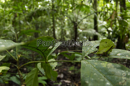 small leaf katydid pseudophyllinae yasuni national
