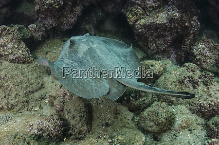 diamond stingray dasyatis brevis galapagos islands