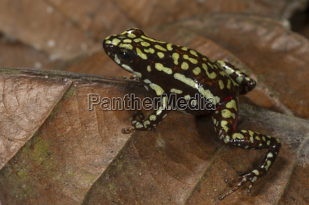 phantasmal poison arrow frog epipedobates tricolor