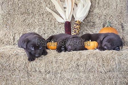 schokolade labrador retriever welpen schlafen pr